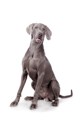 Funny Weimaraner Dog isolated on white background