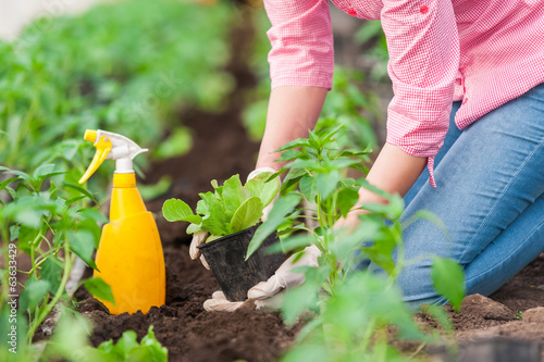 Woman farmer planting salad seedlings
