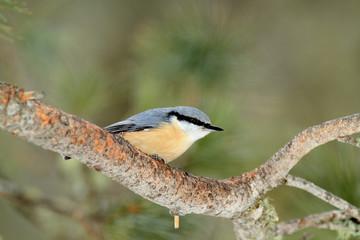 uccello picchio muratore
