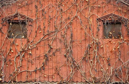 Ivy on old wooden house