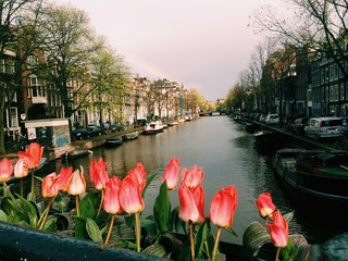 tulips and canal in amsterdam