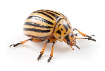 Colorado beetle macro - Leptinotarsa, decemlineata