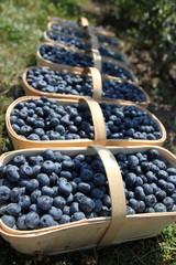 Fresh blueberries in harvest baskets on plantation