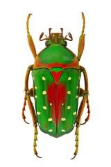 African flower beetle Stephanorrhina guttata - Tanzania