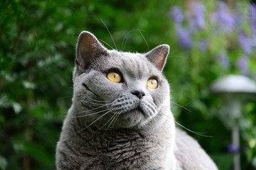 british blue shorthair cat