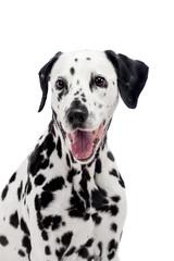 Beauty dalmatian dog, isolated on white background
