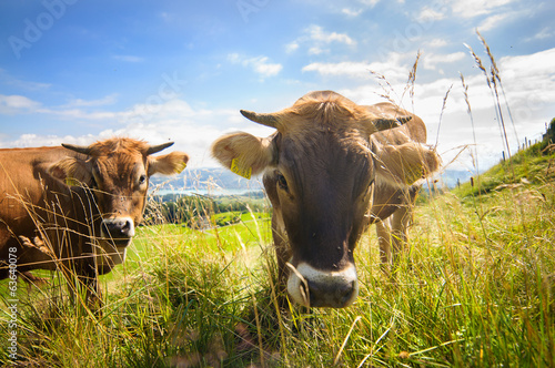 cows on an apls field