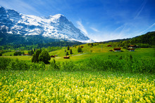 Yellow flowers field, beautiful Swiss landscape