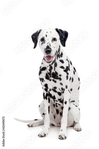Deurstickers Franse bulldog Beauty dalmatian dog, isolated on white background