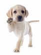 canvas print picture - puppy labrador retriever