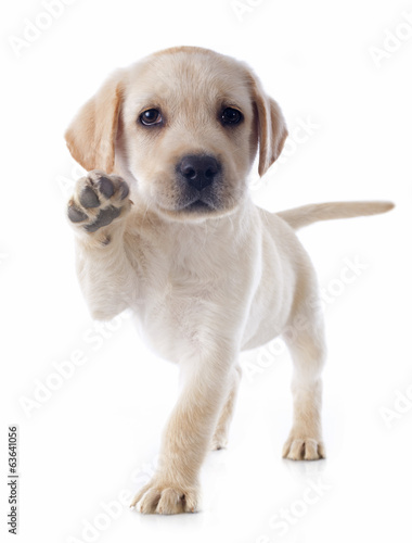 canvas print picture puppy labrador retriever