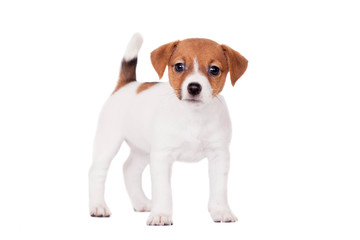 Jack Russell puppy (1,5 month old) isolated on white