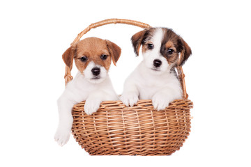 Two Jack Russell puppies (1,5 month old) isolated on white