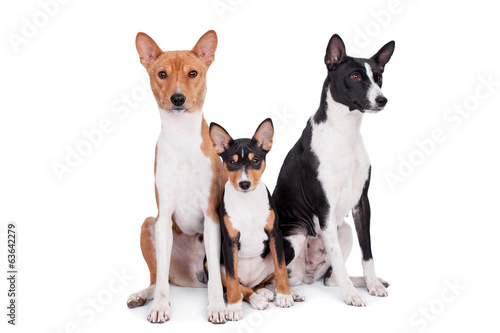 Three basenjis (tricolor, black and red color coats)
