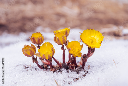 Yellow flowers Adonis among snow