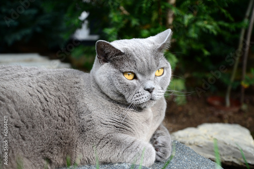 Cats life - british shorthair