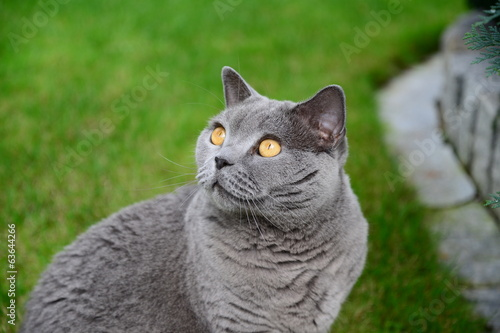 Cats life - british blue