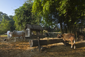 Cattle in traditional farm in Nepal