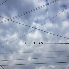 pigeons sur un cable