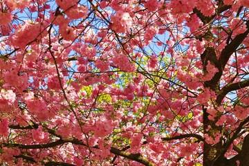 Blütenmeer der japanischen Kirschblüte