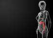 female anatomy - large intestine