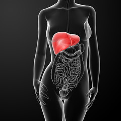 3d rendered  illustration of the female liver
