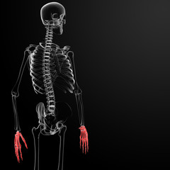 3d render skeleton visible hand