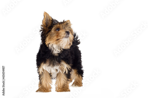 Yorkshire Terrier puppy standing on white background