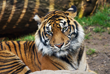 Tiger, portrait of a Sumatran Tiger
