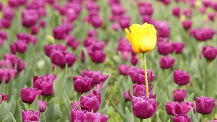garden with purple and one yellow tulip flower