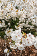 Blossoming Prunus serrulata branches
