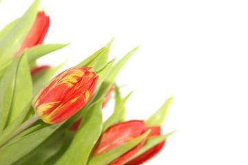 Rot -Gelbe Tulpen