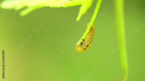 Caterpillars eating leaves
