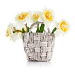 Yellow spring flowers in wicker basket. Isolated on white