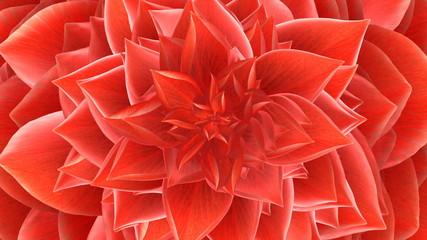 Opening Flower. Loop.