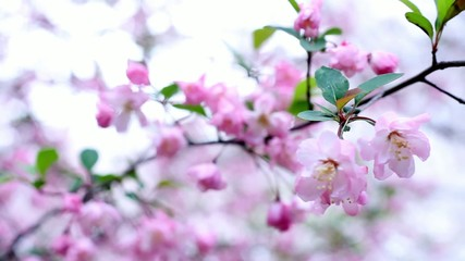Pink Cherry Blossoms 3 - movement