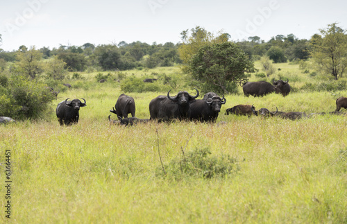 group buffalo