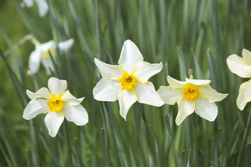 Narcissus 'Conspicuus' - white with yellow tinged petals