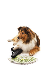 Shetland sheepdog with handgun and euro banknote