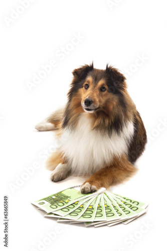 Shetland sheepdog with euro banknote