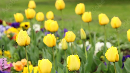 yellow tulip flower nature background