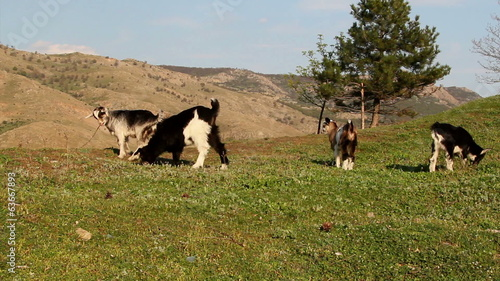 Young goats grazing on a field