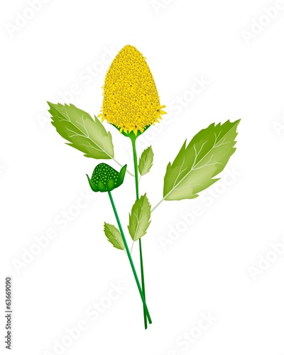 Fresh Paracress Plant on A White Background