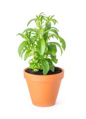 Stevia im Tontopf