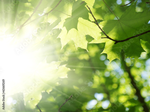 Green leaves and sun beams