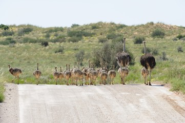 Ostrich (Struthio camelus) family in Kgalagadi transfrontier Pk.