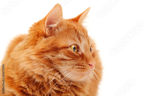 Closeup portrait of beautiful big red cat lying and posing at st
