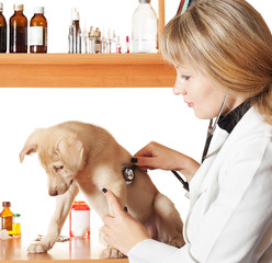 veterinarian examines labrador puppy