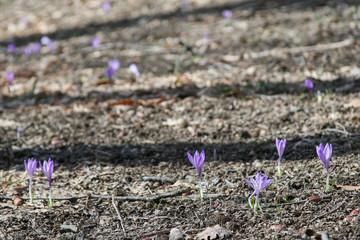 Fioritura dei crochi campio di fiori crocus