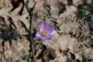 Fiori Crocus Crochi nella neve fioritura invernale